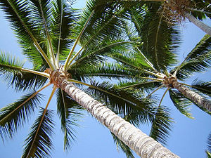 Hawaii Palm Trees 2007