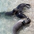 Hawaiian Monk Seals (43859409155).jpg