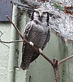 Hawk Owl at London Zoo - geograph.org.uk - 823347.jpg