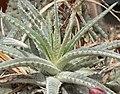 Hechtia marnier-lapostollei 2.jpg
