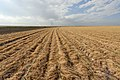 Heinrich Farms, south of Lubbock, Texas. Conservation tillage methods growing cotton in terminated wheat cover. (24486528804).jpg