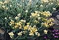 Helichrysum virgineum 4.jpg