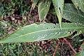 Heliconia psittacorum 13zz.jpg