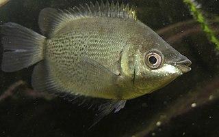 Kissing gourami Species of freshwater fish