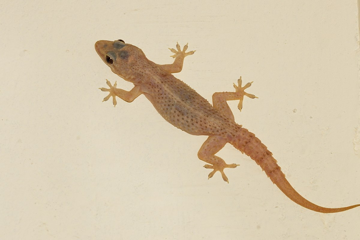 common house gecko wikipedia