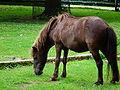 Hengst Shetland-Pony.JPG