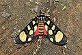 Heraclia superba (Noctuidae- Agaristinae) (6228008582).jpg
