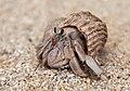 Hermit crabs of Seychelles 02.jpg