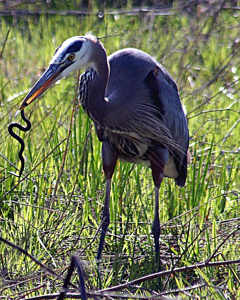 File:Heron with snake.JPG