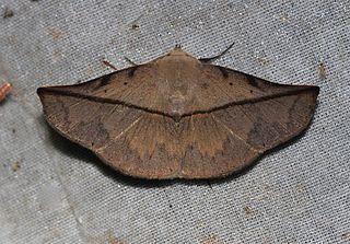 <i>Heterospila</i> Genus of moths
