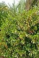 Hibiscus insularis kz1.jpg