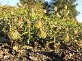Hibiscus trionum sl51.jpg