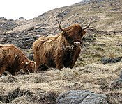 Highland Cow and Ard Mheall, Rum - geograph.org.uk - 151552.jpg