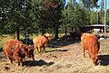 Highland cattle3.jpg