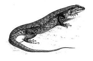 Sphenomorphus - Sphenomorphus nigrolabris