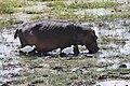 Hippopotamus amphibius 02.jpg