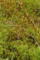 Hoher Vogelsberg Breungeshainer Heide Geiselstein Goldwiese Polytrichum strictum.png