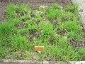 Holcus lanatus - Berlin Botanical Garden - IMG 8566.JPG