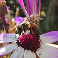 Honeybee on a flower, Sandy, Bedfordshire (14942811617).jpg