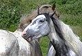 Horses, Ballymacaward - geograph.org.uk - 1422377.jpg