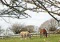 Horses at Cae Hywel - geograph.org.uk - 357947.jpg