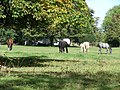 Horses grazing - geograph.org.uk - 554216.jpg