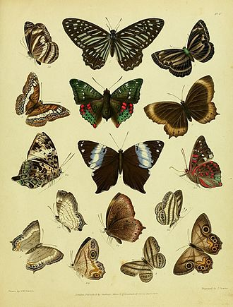 Lebadea (butterfly) - Lebadea (figure 6) and other Nymphalidae in Thomas Horsfield and Frederic Moore's A Catalogue of the Lepidopterous Insects in the Museum of the Hon. East-India Company