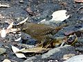 House Wren. Troglodytes aedon - Flickr - gailhampshire.jpg