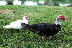Household of Muscovy Duck.JPG