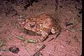 Houston toad.jpg