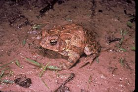Houston toad.jpg
