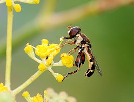 Hoverfly August 2007-8.jpg