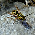 How To Safely Photograph a Southern Yellowjacket (6241629651).jpg