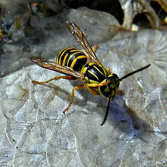 Vespula squamosa - Stripes on the back of V. squamosa that distinguish it from other species of yellow jackets