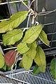 Hoya meredithii 1zz.jpg