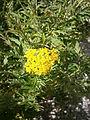 Hugueninia tanacetifolia 02.jpg