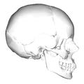 Human skull - lateral view.png