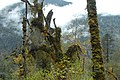 Humid forest in the valley Saldim Khola. - panoramio.jpg