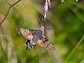 Hummingbird Hawkmoth (Macroglossum stellatarum) (14152177148).jpg