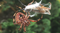 Hungry Orb-weaver.png