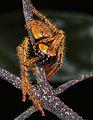Huntman Spider (Sparassidae) (7659806054).jpg