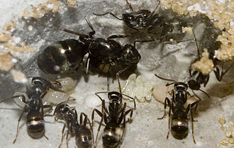 Lasius - Lasius niger, queen, workers, and eggs