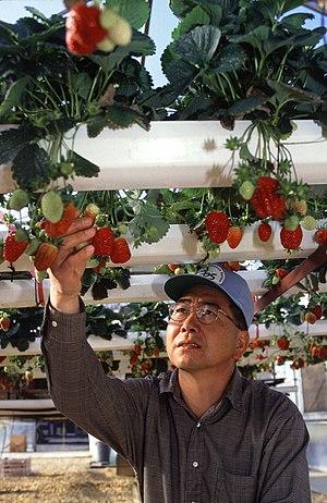 Hydroponic strawberry usda