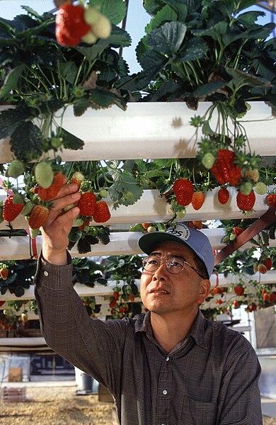 Archivo:Hydroponic strawberry usda.jpg