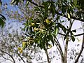 Hymenosporum flavum (Hook.) F.Muell. (6377273159).jpg