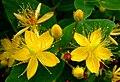 Hypericum blooms.jpg