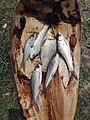 IMG fish মাছ কুঁহিমাছ কমন কাৰ্প.jpg
