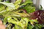 ISS-53 Red lettuce being cultivated inside the Veggie facility.jpg