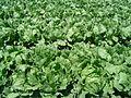 Iceberg lettuce in SB.jpg