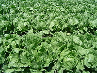 Grow Your Own Lettuce for Salads - It's Easy